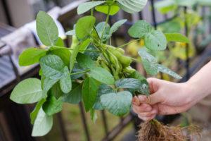 家庭菜園の枝豆 プランター 収穫 女性