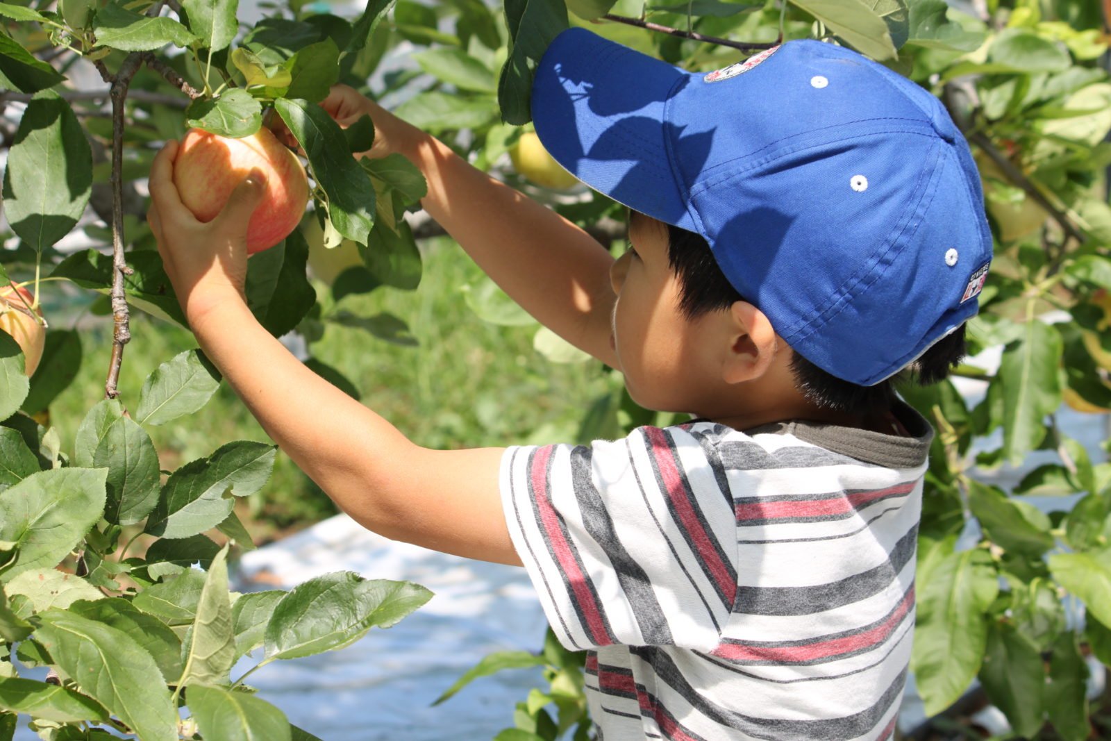 「りんご」収穫体験